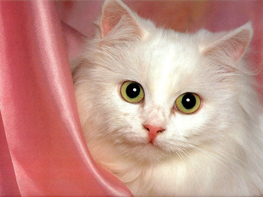 Cute White Cats